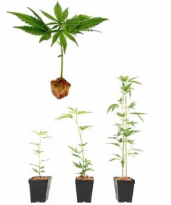 Talee e semi certificati
